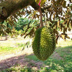 ทุเรียนนกหยิบ Nokyip Durian